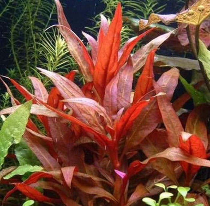 Red Parrot Leaf, Red Temple - Alternanthera reineckii 'rosaefolia'