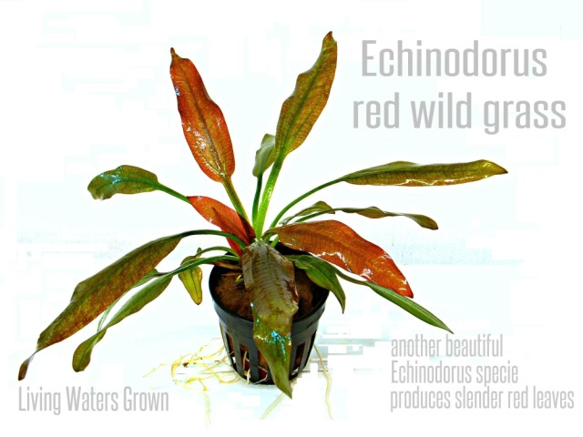 Echinodorus red wild grass